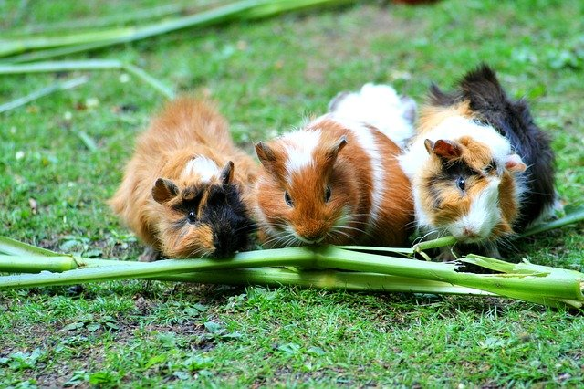 three guinea pigs are eating grass